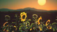 big beautiful sunflowers at sunset