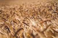 Golden grain or wheat field background during summer sunset back light with details on kernels, Austria