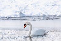 Wild bird mute swan in winter on pond