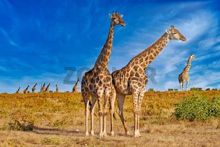 Giraffen, Etosha-Nationalpark, Namibia, (Giraffa camelopardalis)   giraffes, Etosha National Park, Namibia, (Giraffa camelopardalis)