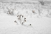 eingeschneite Pflanze im Winter
