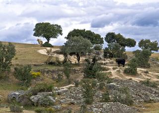 Landschaft in der Extremadura mit Rindern