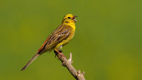 Yellowhammer singing on branch in sunny summer nature