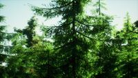 green cone trees in bright sun light