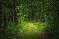 A path in a dense green forest