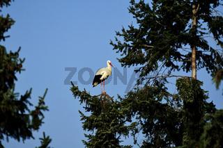 White Stork / Weißstorch