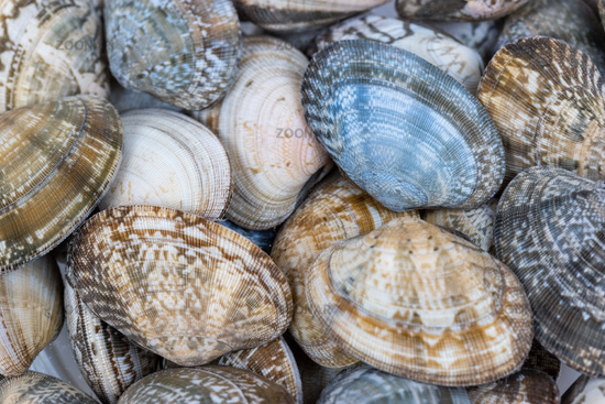 short necked clam