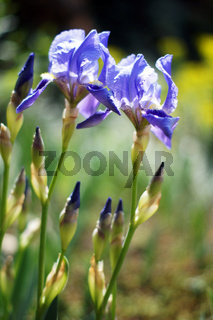 Spring time: wild iris flowers in the wood