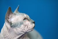 Portrait of Canadian Sphynx cat on blue background