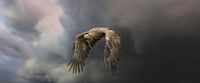 European sea eagle flying in an impressive blue sky with veil clouds. Bird of prey in flight. Flying birds of prey during a hunt. Social media, web banner of cover