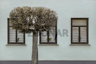 Der Baum vor den Fenstern