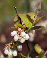 Blueberry, Vaccinium myrtillus