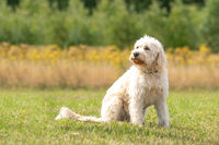 Labradoodle dog sits on the grass, yellow flowers and reeds in the background. The white dog with curly hair is sitting in the sun