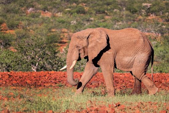 Wüstenelefant im Damaraland, Namibia, (Loxodonta africana)   desert elephant at the Damaraland, Namibia, (Loxodonta africana)