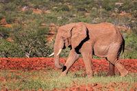 Wüstenelefant im Damaraland, Namibia, (Loxodonta africana) | desert elephant at the Damaraland, Namibia, (Loxodonta africana)