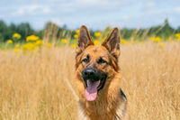 German Shepherd sitting outside in the high yellow reeds. Show his tongue. Yellow flowers and forest edge in the background