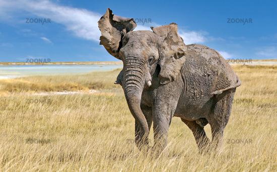 Ärgerlicher Elefant, Etosha-Nationalpark, Namibia, (Loxodonta africana) | angry elephant, Etosha National Park, Namibia, (Loxodonta africana)
