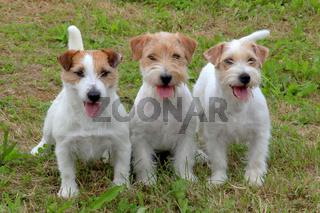 Jack Russell Terriers in the garden