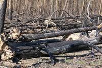 Wald nach einem Waldbrand
