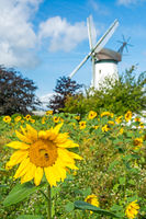 Vertical shot of beautiful yellow sunflower with bee in front of historic windmill in Northern Germany