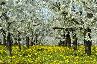 Blühende Apfelbäume in Plantage