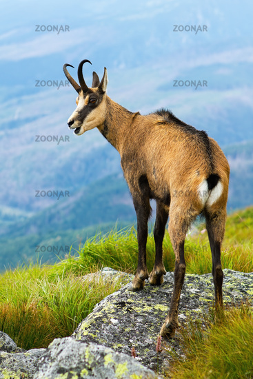 Tatra chamois panting on rocks in summertime nature