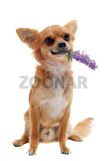 chihuahua and flower