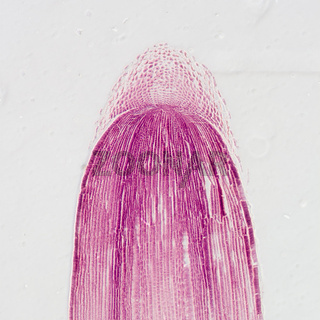 micrograph plant root tip tissue cell