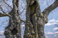 Die alten Bäume L1004708.jpg