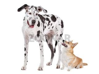 Deutsche Dogge und Welsh Corgi