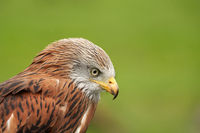 Red kite, bird of prey portrait, Yellow eye and beak. Green grass in the background