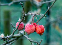 Frosted red ripe apples