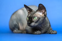 Canadian Sphynx. Close-up portrait of hairless cat on blue background