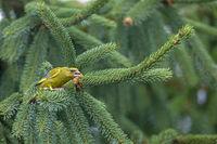 Ein maennlicher Gruenfink droht einem Artgenossen / Chloris chloris