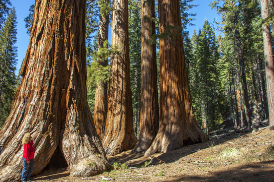 Mammutbäume im Yosemite Nationalpark in Kalifornie
