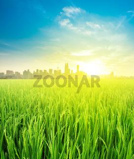 landscape view over rice field plantation farming