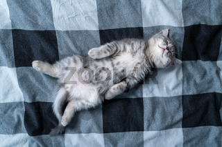 Beautiful little gray tabby cat sleeps sweetly on plaid blanket on bed at home. Kitten of Scottish Straight breed lies on back with paw stretched out funny and sees dreams. Animal child fell asleep