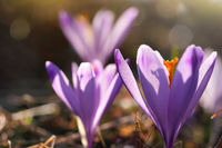Sun shines through petals of wild purple and yellow flower Crocus heuffelianus discolor growing in spring dry grass
