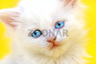 White kitten with blue eyes.