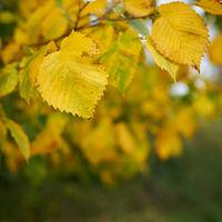 Blätter einer Flatterulme (Ulmus laevis) mit gelber Herbstfärbung