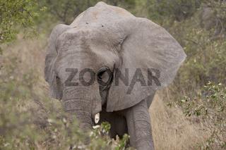 Afrikanischer Elefant im Gebuesch