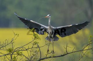 Graureiher, Ardea cinerea, grey heron