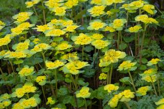 Alternate-leaf golden saxifrage