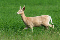 White fallow deer, dama dama, being in hurry during the pasture on clover field