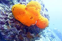 orangefarbener Schwamm und Federstern oder Seelilie