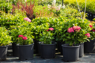 hydrangeas varieties and other plants at the flower shop
