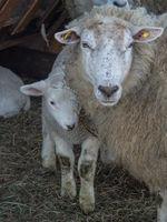 Schafe im Münsterland