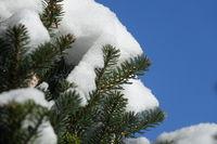 Abies nordmanniana, Nordmannstanne, Caucasian fir, mit Schnee, in winter