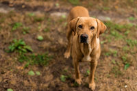 Smiling Hungarian vizsla labrador dog standing on a path against the background of a family garden.