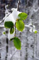 Hainbuchenblätter mit Neuschnee bedeckt im Frühling